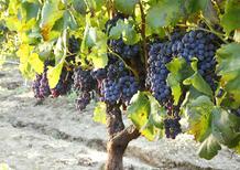 Biocarburanti: fino a 400 litri da una tonnellata di vinacce di Cabernet e Sauvignon
