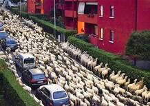 Pecore in strada: a Lecco fanno coda anche per la siepe